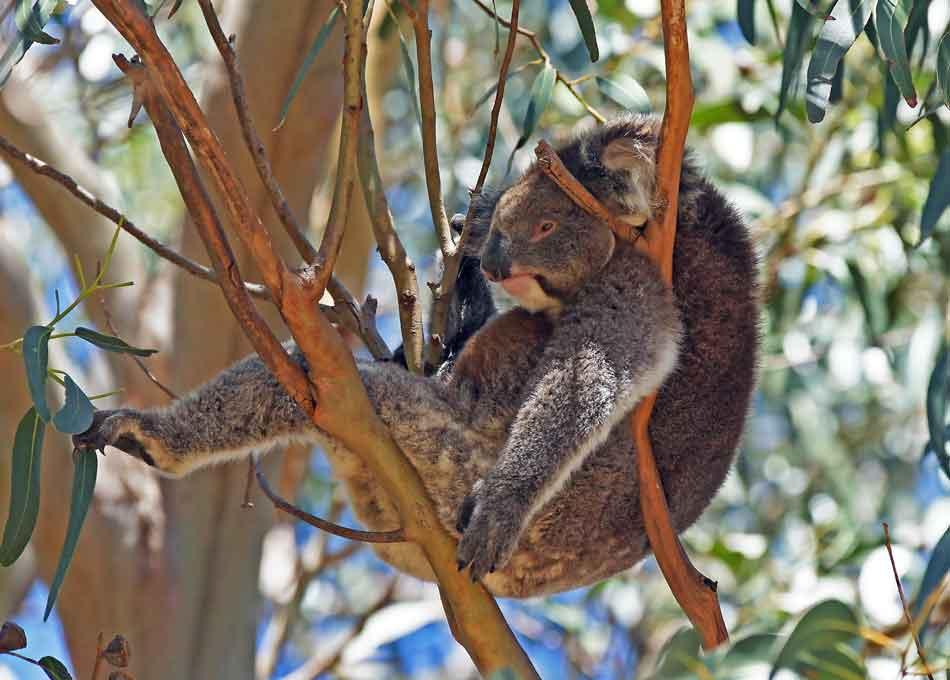 Koala bear sleeping in a blue gum tree, Kangaroo Island, Australia