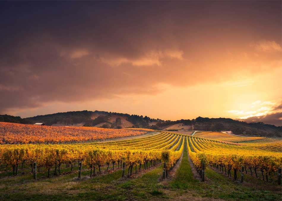 Sunset over a South Australian vineyard